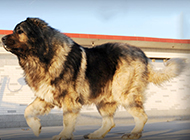 凶猛无比的大型高加索犬图片
