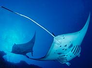 能吃的鳐鱼的图片欣赏