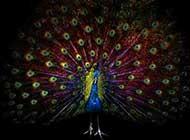 美丽又讨人喜欢的孔雀高清图集