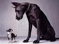 巨型黑色大丹犬帅气特写图片