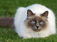 相貌迷人的长毛暹罗猫图片