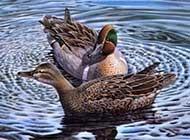 自由自在的野鸭