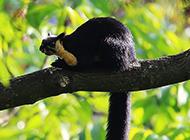 林中玩耍的海南巨松鼠图片