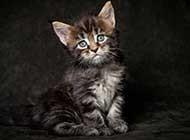 生活中的缅因库恩猫卖萌高清图片
