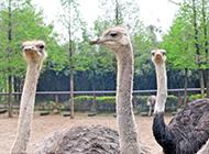 表情可爱的非洲鸵鸟图片