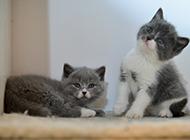 蓝白英短猫可爱顽皮模样图片