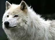 狼的那些不为人知的秘密生活照
