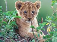 可爱超萌的小狮子高清图片
