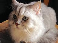 蓝色金吉拉猫乖巧可爱模样图片