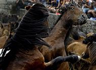 西班牙驯马人徒手驯野马