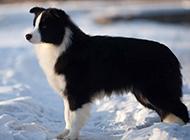 雪地上的边境牧羊犬图片欣赏
