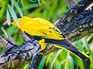 金黄鹂鸟鸣声婉转图片
