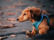 可爱的萌宠图片 迷你腊肠犬超高清壁纸