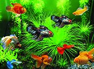 观赏鱼凤尾鱼图片可爱又漂亮
