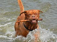 狗狗图片搞笑活泼的波尔多犬