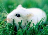 小白鼠绿草地迷人写真图片
