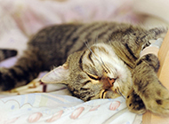 英国虎斑猫睡觉的图片