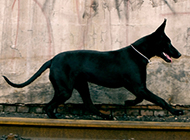结实健壮的中华黑狼犬图片