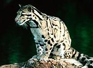 成年的野生豹猫图片大全