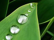 绿绿植物叶子上的雨滴与露珠