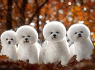 白色纯种小型比熊犬图片
