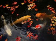 湖泊嬉戏的中华锦鲤图片