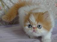 可爱波斯猫实拍图片欣赏