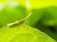 绿蚱蜢微距写真图片