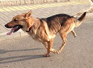 迎风奔跑的黑背昆明犬图片