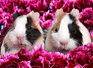置身花丛的宠物豚鼠图片大全