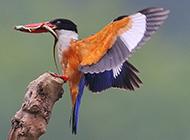 荆棘鸟张开翅膀的图片