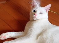 蓝眼白猫躺在地上的图片