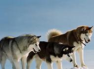 酷爱户外运动的成年雪橇犬图片