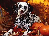 眼神无辜温顺的大麦町犬图片