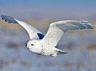 雪地滑翔的雪鸮猫头鹰图片