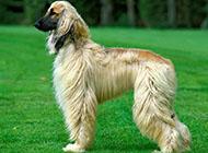 纯种高贵阿富汗猎犬图片