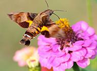 四不像的昆虫蜂鸟鹰蛾图片