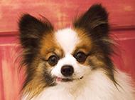 垂耳蝴蝶犬狗狗调皮图片