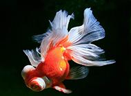 身姿优雅的顶级蝶尾金鱼图片