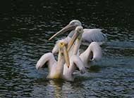 白色鹈鹕湖面静景拍摄