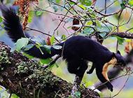 印度巨松鼠活蹦乱跳图片