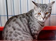 可爱宠物埃及猫图片