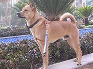 中华田园犬幼犬精美图片