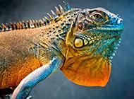 色彩鲜艳的冷血动物小蜥蜴图片