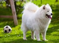 白色萨摩耶犬草地运动写真图片