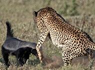 猎豹妈妈保护三只小猎豹 全力吓退凶猛蜜獾