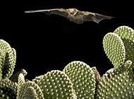 美国摄影师拍饥饿蝙蝠黑夜捕食蝎子瞬间