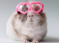 宠物豚鼠搞怪卖萌图片