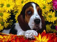 可爱宠物狗狗巴吉度犬花园写真图片