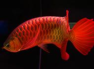 辣椒红龙鱼图片漂亮名贵